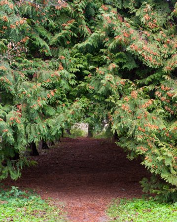 Arch footpath between coniferous trees
