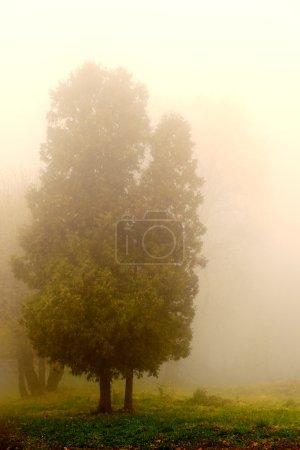 Photo pour Arbre dans un brouillard Arbre d'automne dans un brouillard dense - image libre de droit