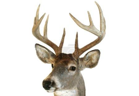 Photo pour Gros plan d'une tête de cerf de Virginie à la recherche vers le spectateur à un angle. - image libre de droit