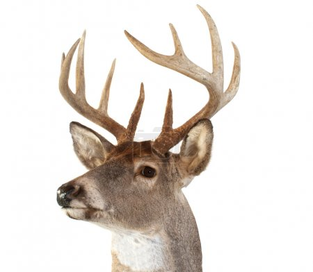 Photo for A closeup of a whitetail deer looking towards the left - Royalty Free Image