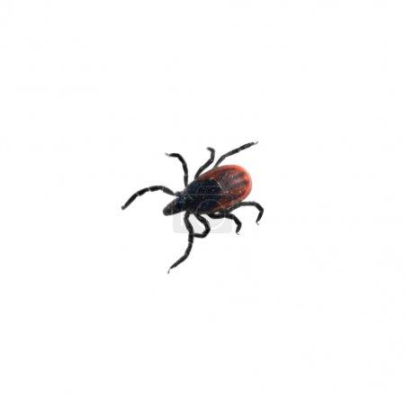 Deer TIck - Ixodes scapularis