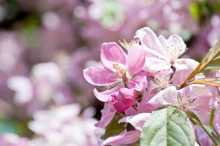 Foto de Flor de cerezo. cherry.macro salvaje del Himalaya - Imagen libre de derechos