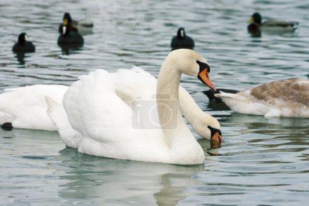 Floating swan