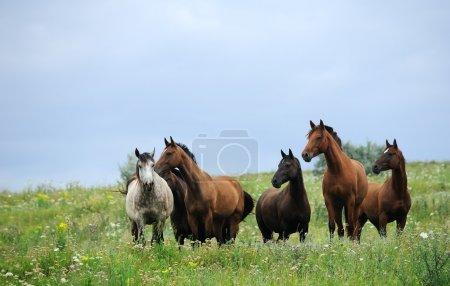 Photo pour Troupeau de chevaux sauvages sur le terrain - image libre de droit