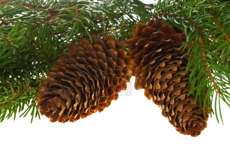 Photo for Close-up fir tree with cones, isolated on white - Royalty Free Image