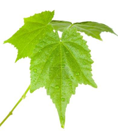 Photo pour Feuilles vertes avec des gouttes d'eau, isolés sur blanc - image libre de droit