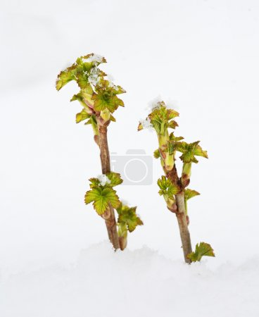 Sprouts of currant in snowdrift