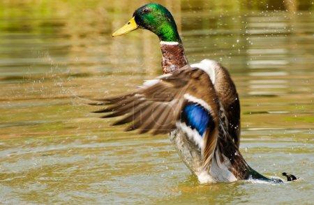 Wild duck in flying action