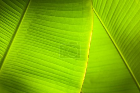 Photo for Back light in overlapping green banana leaves. - Royalty Free Image