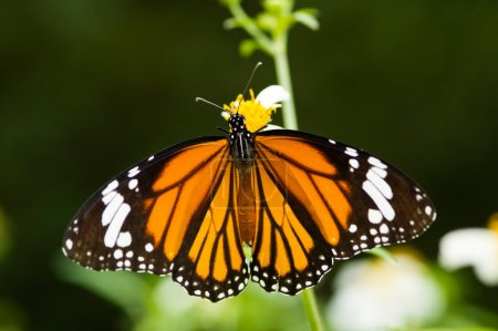 Photo for Butterfly opens its wings and feeds on little flower (Danaus genutia Cramer) - Royalty Free Image