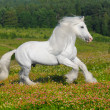 White horse runs gallop on the meadow...