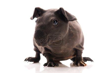 Photo pour Cochon d'Inde maigre - image libre de droit