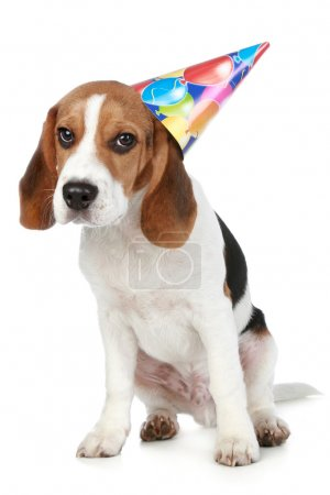 Beagle puppy with birthday party hat