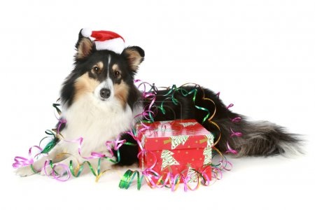 Shetland sheepdog in Christmas hat with a gift
