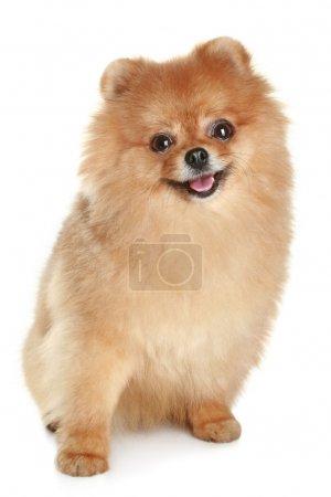 Funny spitz-dog