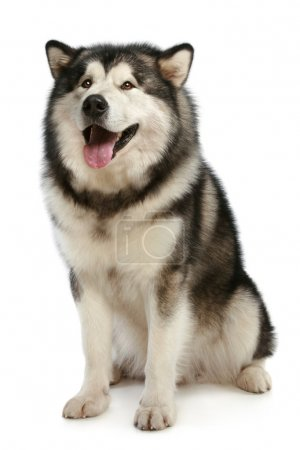 Cheerful malamute