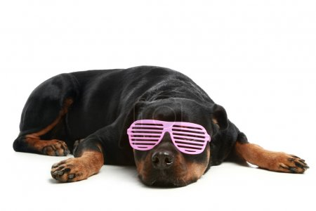 Rottweiler in glamour pink glasses
