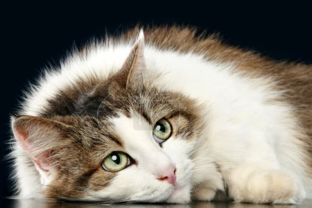 Thoughtful fluffy cat