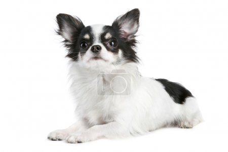 Long-haired chihuahua dog lying on a white background