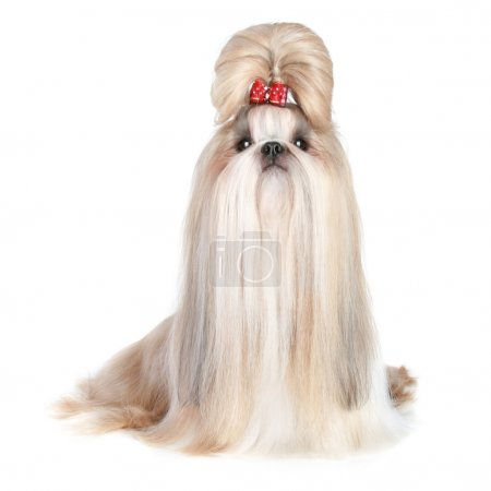 Dog of breed shih-tzu