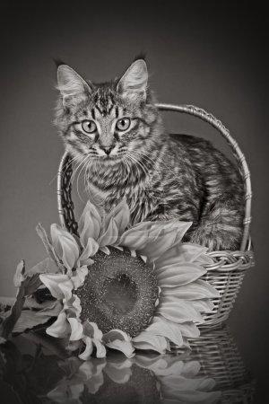 Photo pour Chat rayé assis dans le panier avec tournesol (image monochrome ) - image libre de droit