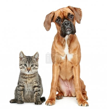 Brown cat and dog Boxer breed