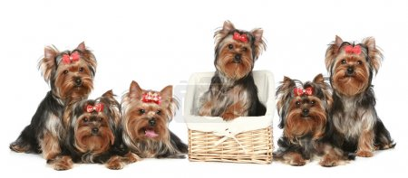 Yorkshire Terrier puppies, group posing on a white background