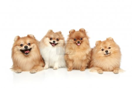 Funny group of Spitz puppies on white background