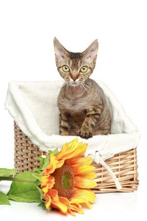 Devon Rex cat in wattled basket