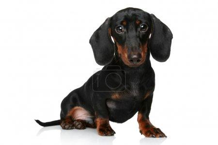 Mini dachshund, portrait on a white background