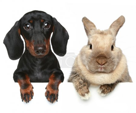 Photo for Rabbit and dachshund. Close-up portrait - Royalty Free Image
