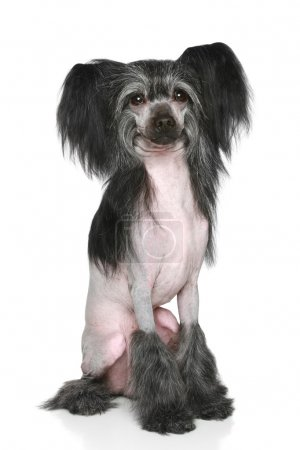 Black Chinese Crested Dog