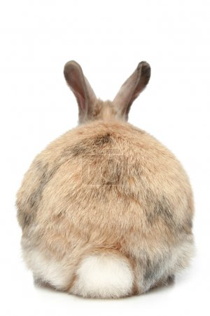 Photo for Rabbit on a white background (rear view) - Royalty Free Image