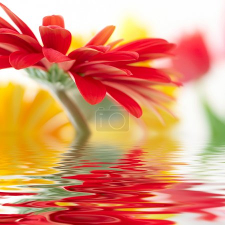 Photo for Red daisy-gerbera with soft focus reflected in the water - Royalty Free Image