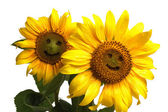 Two smiling sunflowers