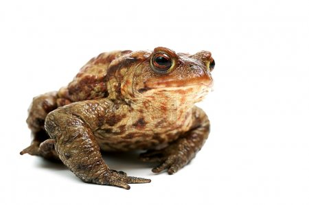 Frog,isolated on white