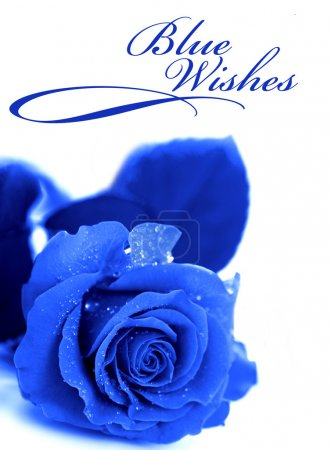 Foto de Rosa azul aislado sobre fondo blanco - Imagen libre de derechos
