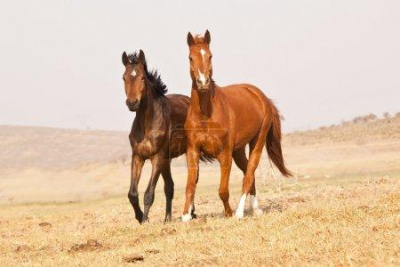 Dark brown and chestnut horses
