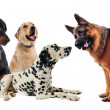 Group of five dogs on a white background...