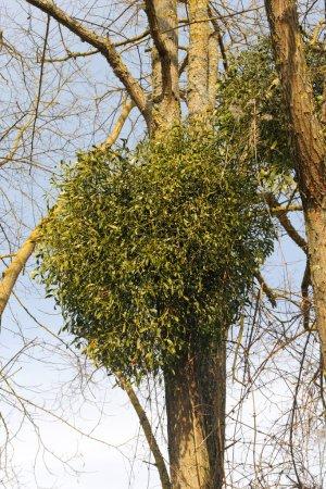 Mistletoe plants - Viscum album