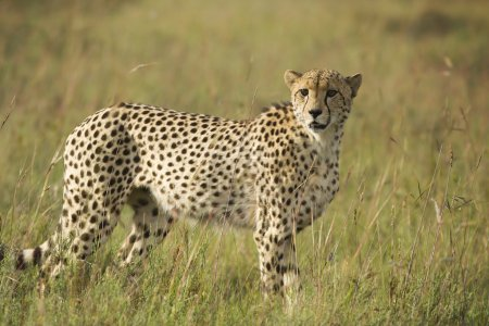 Cheetah scanning plains