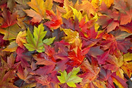 Photo for Maple Leaves Mixed Changing Fall Colors Background 2 - Royalty Free Image