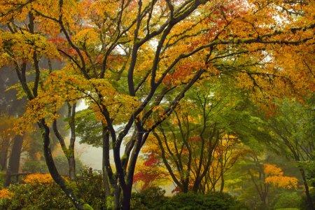 Photo pour Canopée des érables au jardin japonais à l'automne près du pont - image libre de droit