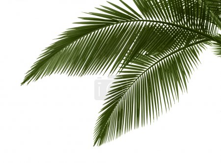 Photo for Green palm leaves isolated on white background,professional process from 16bit RAW and Prophoto RGB color profile used for output JPG file - Royalty Free Image