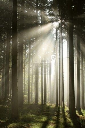 Photo pour Forêt de conifères rétroéclairée par le soleil du matin par une journée d'automne brumeuse . - image libre de droit