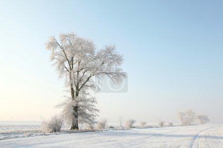 Frosty winter tree in the field