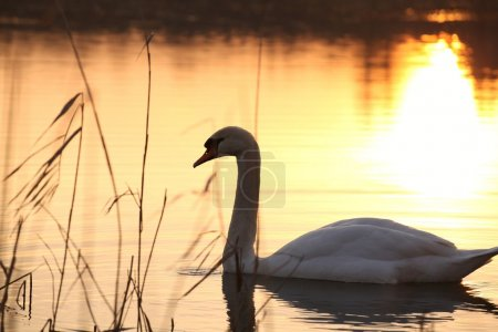 Photo for Lonely swan on the lake at dusk. - Royalty Free Image