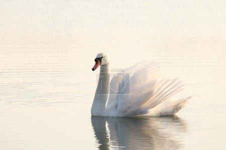 Photo pour Cygne solitaire illuminé par le soleil levant. - image libre de droit