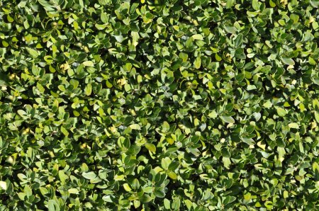 Photo for Green bush texture that perfectly loop horizontally and vertically - Royalty Free Image