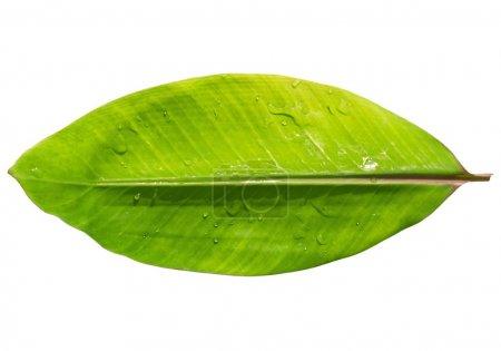 Foto de Hoja de plátano de la planta de banano rojo con gotas de agua aisladas con trazado de recorte - Imagen libre de derechos